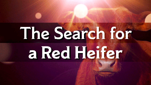 Jeanne Nigro on the Red Heifer